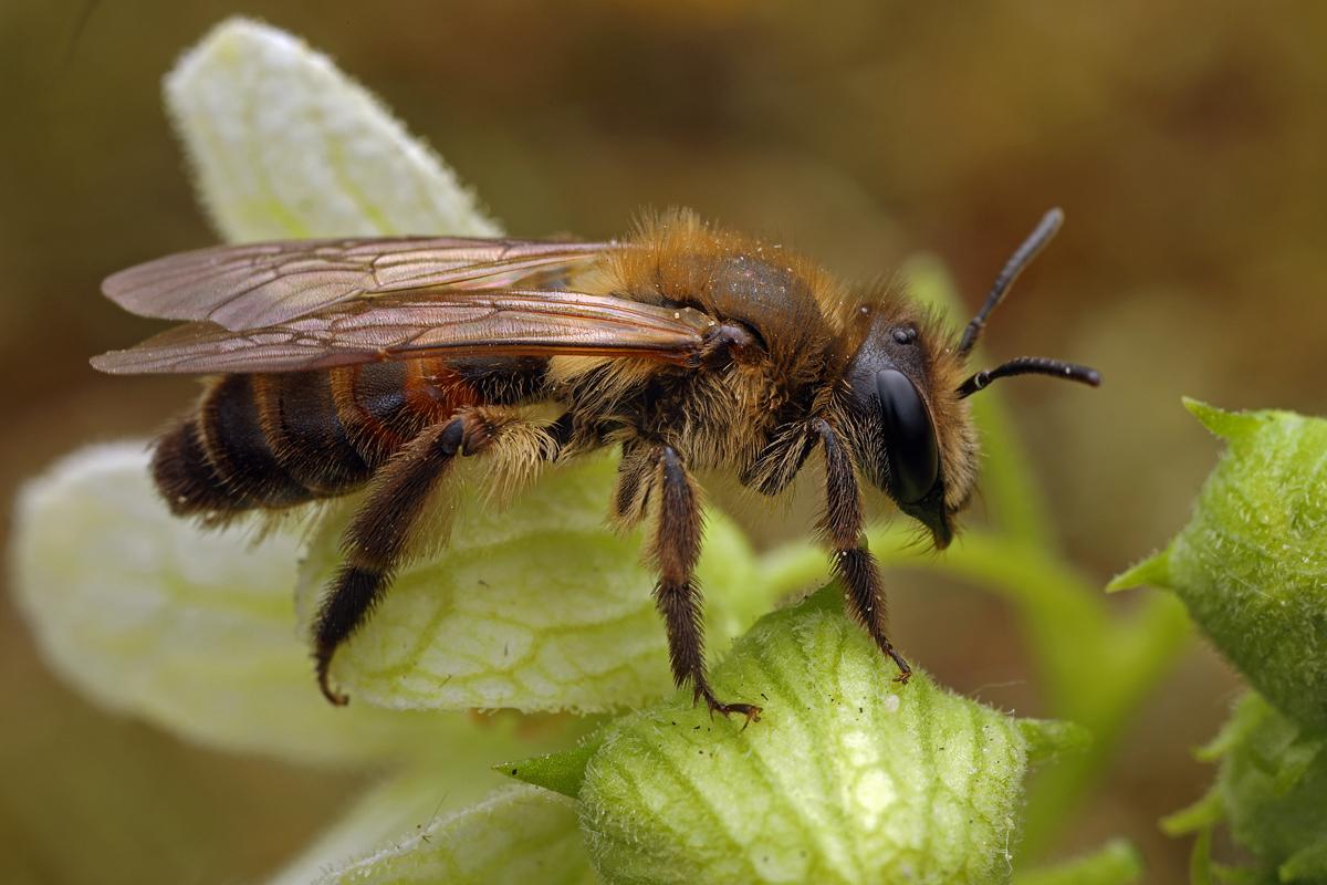 Zaunrübensandbiene (Andrena florea), Weibchen